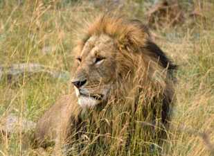 An African lion on the savannah.