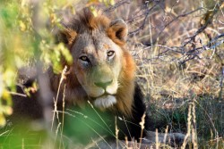 Lion bones still on the menu: CITES Parties fail to agree full ban on internatio