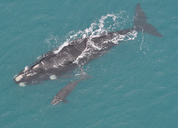 Southern Right whales (mother and calf) at Logan's Beach, Warrnambool c. M. Watson, DSE