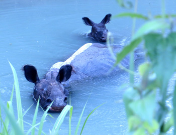 Cause for celebration: Maino, the first rhino ever to be released into Manas kickstarting a crucial program to repopulate the park's rhinos, has given birth. Pictured here taking a swim with her new born calf, Mainao was rescued in 2002 and moved to Manas in 2006. She was the first rhino to walk this UNESCO World Heritage Site as part of the species reintroduction programme. She had been missing since May 26th and our team had suspected that she may be pregnant. She was first sighted with her new born on June 2nd.