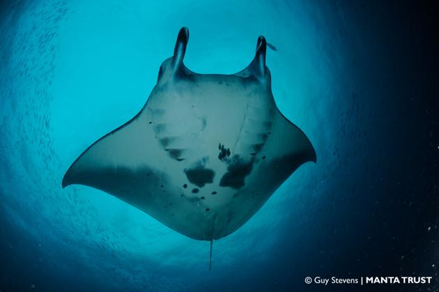 11. UN-Artenschutzkonferenz: Großartiger Sieg für Haie und Rochen