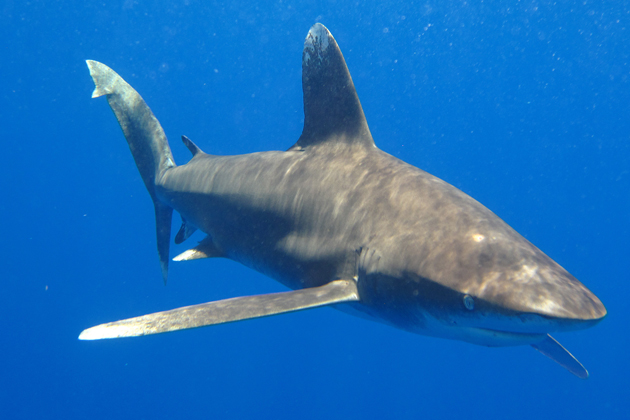 Oceanic whitetip shark, one of the most threatened sharks. © R. Sonntag