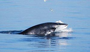 Les baleiniers japonais sont partis pour l'Antarctique, sans leur harpon