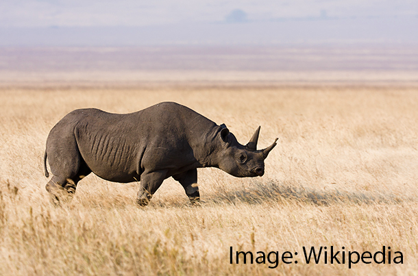 Commentary: why we're fighting to protect one African black rhino