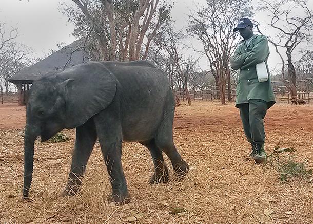 "Chartered flight brings rescued baby elephant ""Ntubya"" to Zambia orphanage"