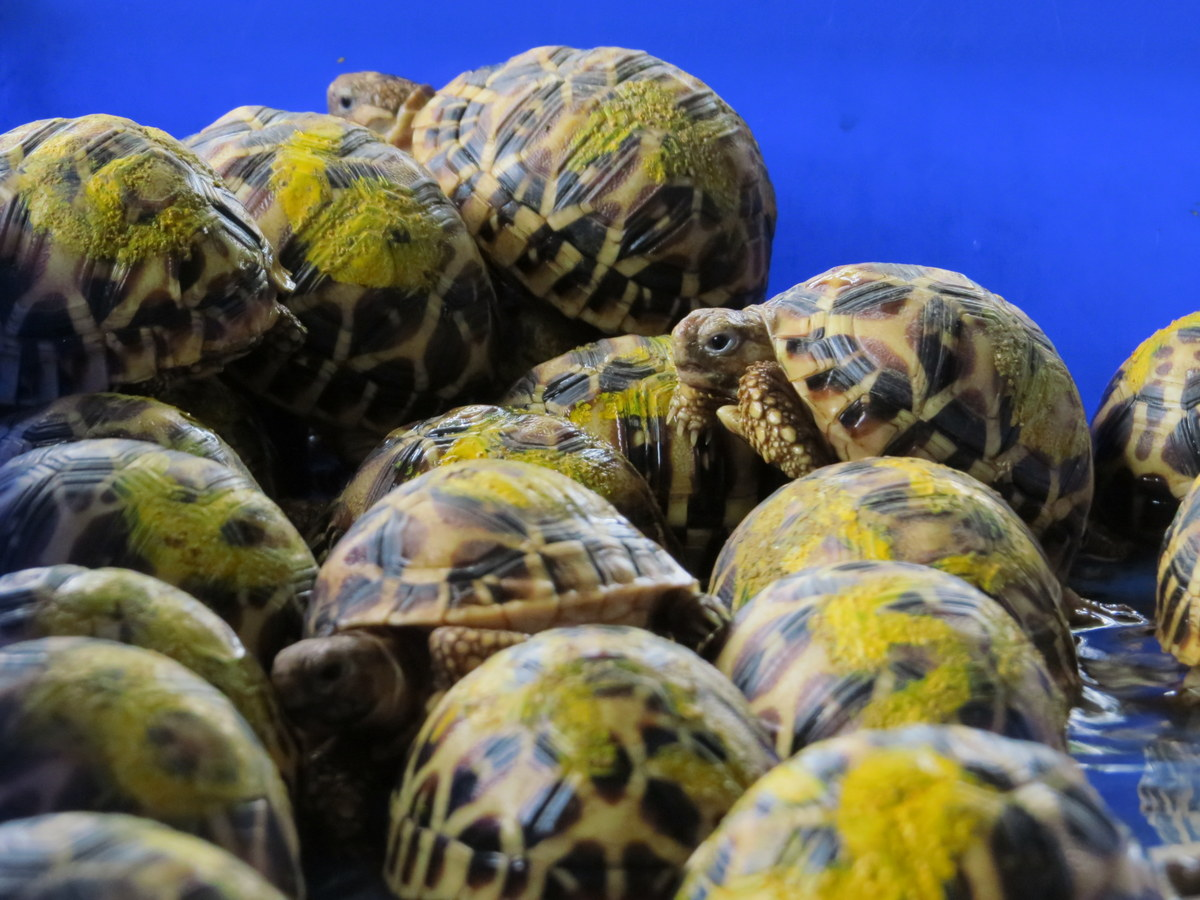 Seizure at Indian airport results in the rescue of 440 endangered star tortoises