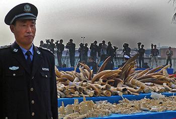 China vernietigt 6 ton in beslag genomen ivoor en geeft gehoor aan mondiale opro