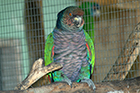 Imperial amazon parrot