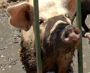 """""""Ag Gag"""" bills passed last year make undercover exposés almost impossible to pro"""