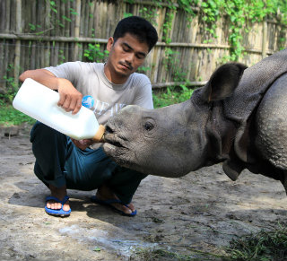 Ontai, looking after Purabi; a rhino recently released into Manas National Park.