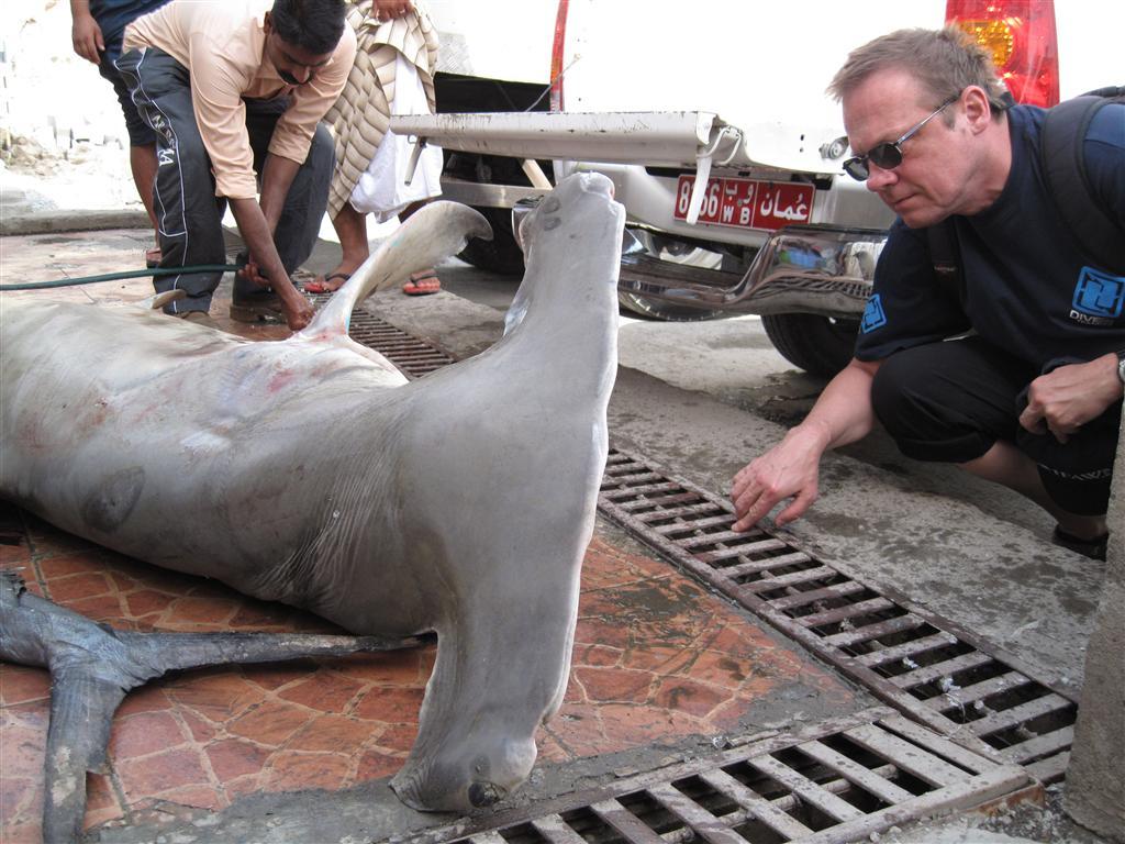 Millionen Haie enden wie dieser auf Fischmärkten