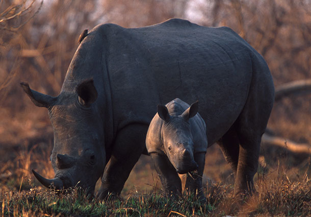 South African government strategy continues to put rhinos at risk.