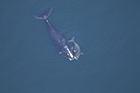 North Atlantic Right Whale Threatened By Seismic Airgun Use for Oil & Gas Explor