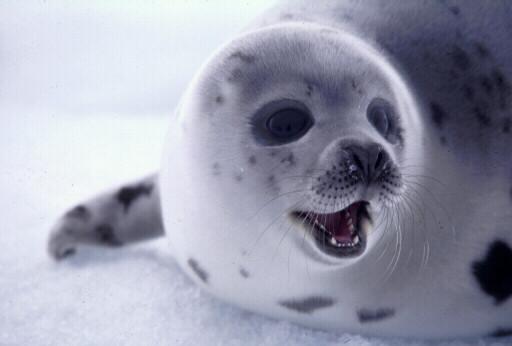Dürfen Norwegens Robben nun weiterleben?