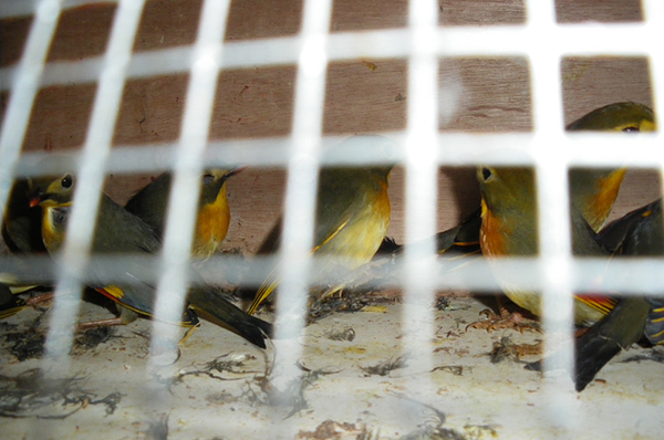 A few of the seized 100 Red-billed Leiothrix. c. Douane française
