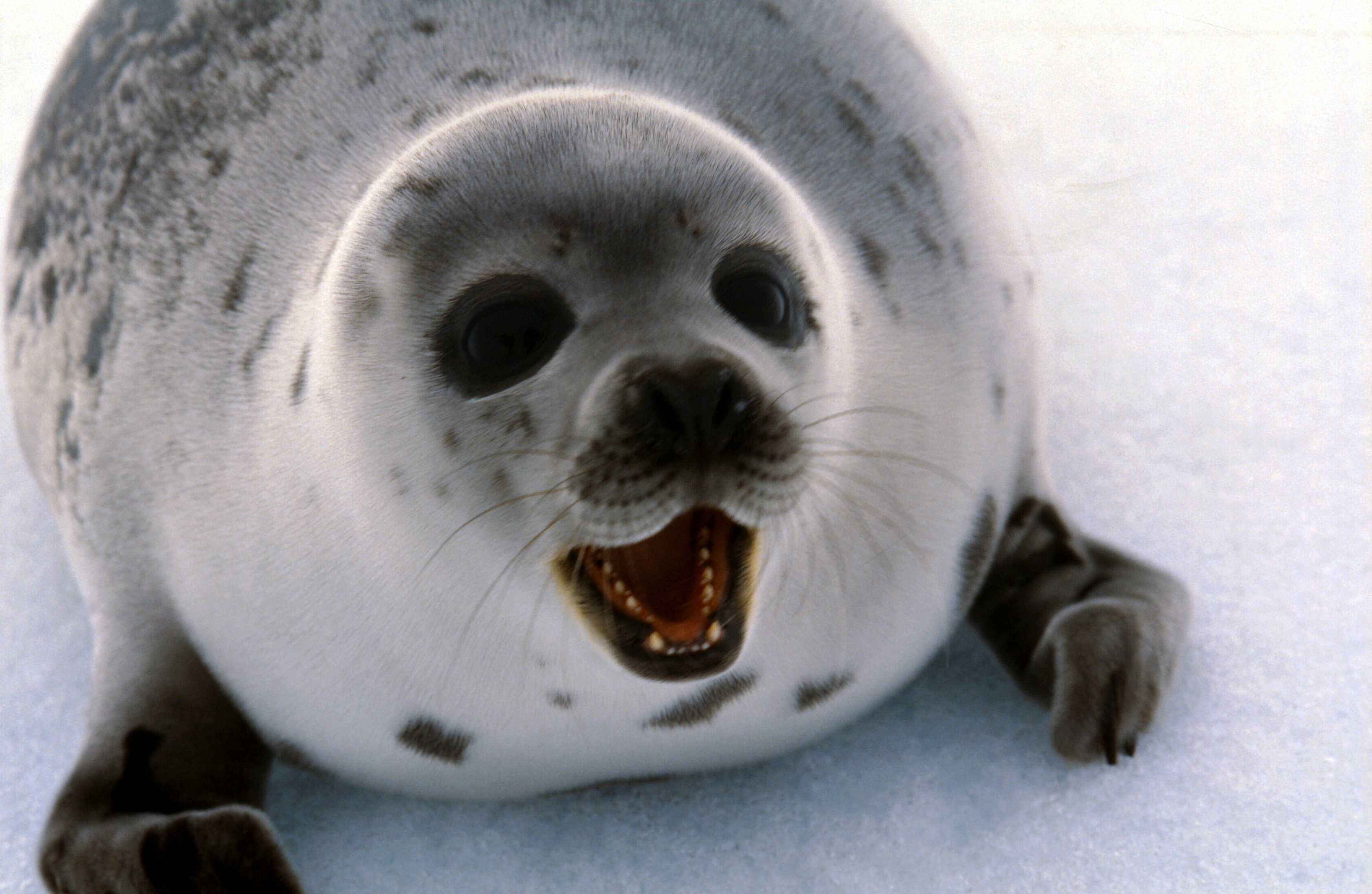 Norway considers an end to seal hunt subsidies