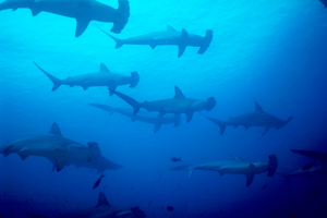 Important Day for Sharks as New Protection  Measures go into Action