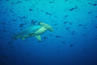 May Sharks Roam Widely, Safely and Freely in the Arabian Waters