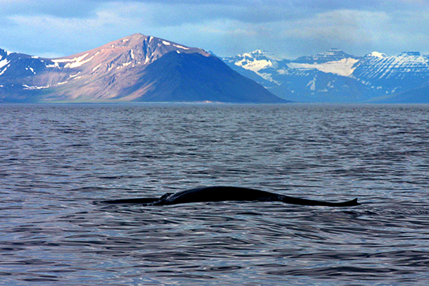 Exciting new research project aims to protect the endangered blue whale from dea