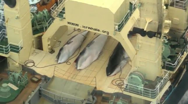 Australian government's response on whaling a worrying sign