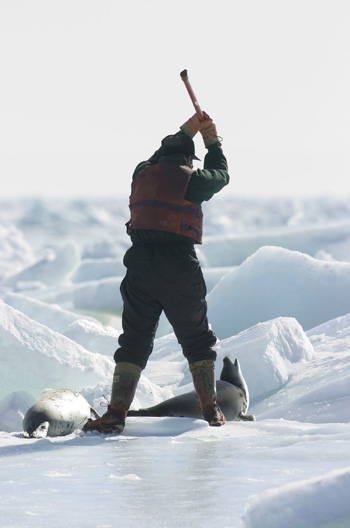 On the frozen ice of the Gulf of St. Lawrence, a sealer moves in to kill a beater harp seal pup with a hakapik -- a spiked club. Canada allows the controversial hunting of seal pups and 95% of the seals killed are younger than 3 months old. The hunt takes place annually in the spring.