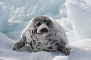 IFAW: Canada's commercial seal hunt is a cruel, unnecessary waste