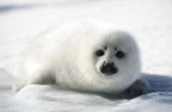 DFO Opens Commercial Seal Hunt Early, Removes Limited Protection for Mothers and