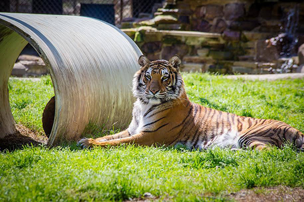 It was not that long ago that Sheba, a beautiful tigress, was being kept in a sm