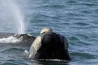 La chasse à la baleine scientifique du Japon sous les projecteurs alors que s'ou