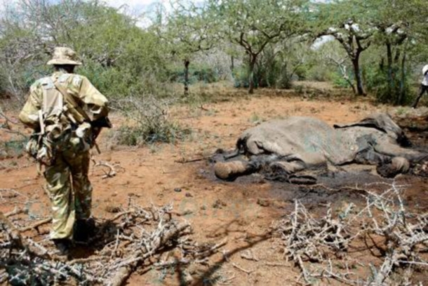 A Kenya Wildlife Service ranger and the remains of a poached elephant.