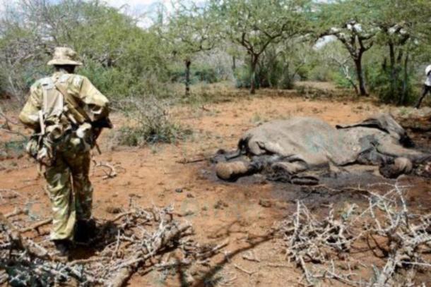 Ein Wildhüter betrachtet die verwesenden Überreste eines gewilderten Elefanten.