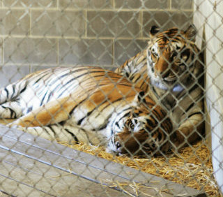Take a stand and help prevent the public handling of big cats!