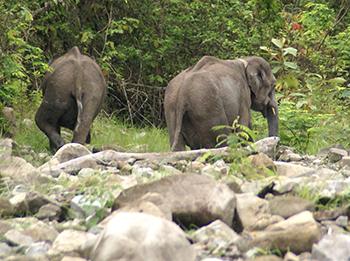 Jonge olifanten Tinku en Rupa gespot in het wild