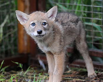 Promising news for native carnivores