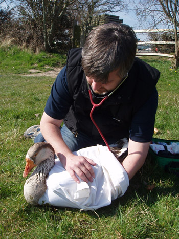 The author assesses goose rescued at Hailsham, England.