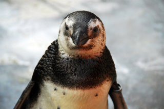 Banded Magellanic penguin undergoing rehabilitation