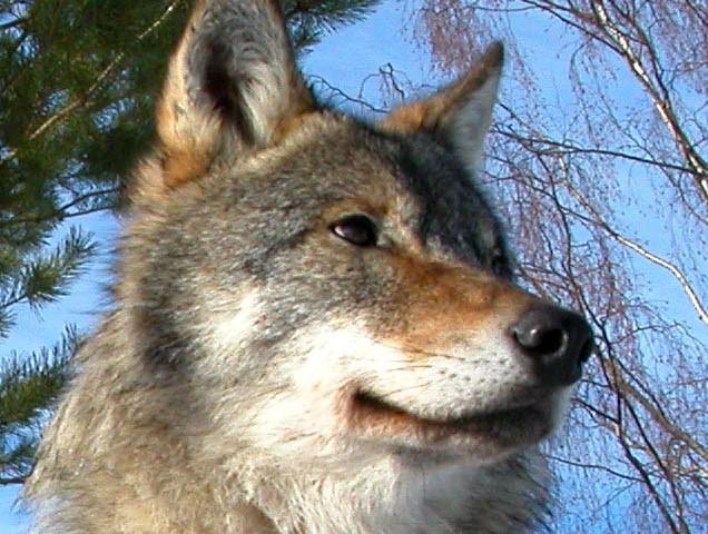 Verhaltensauffälliger Wolf: Grund zur Sorge oder gar zu Angst?