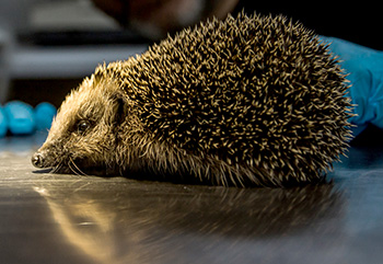 Each winter rescue centres care for an increasing number of hedgehogs. Photo credit: Chris Buggins.