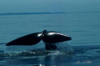 Japan's 'scientific' whaling further criticised by expert panel