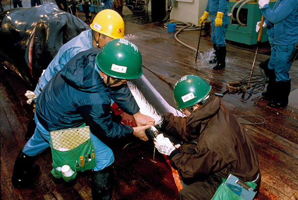 Collecting samples from a harpooned minke whale on the Japanese factory ship Nis