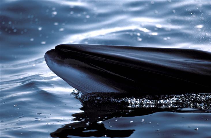 In dieser Saison sind die Zwergwale sicher vor den Walfängern