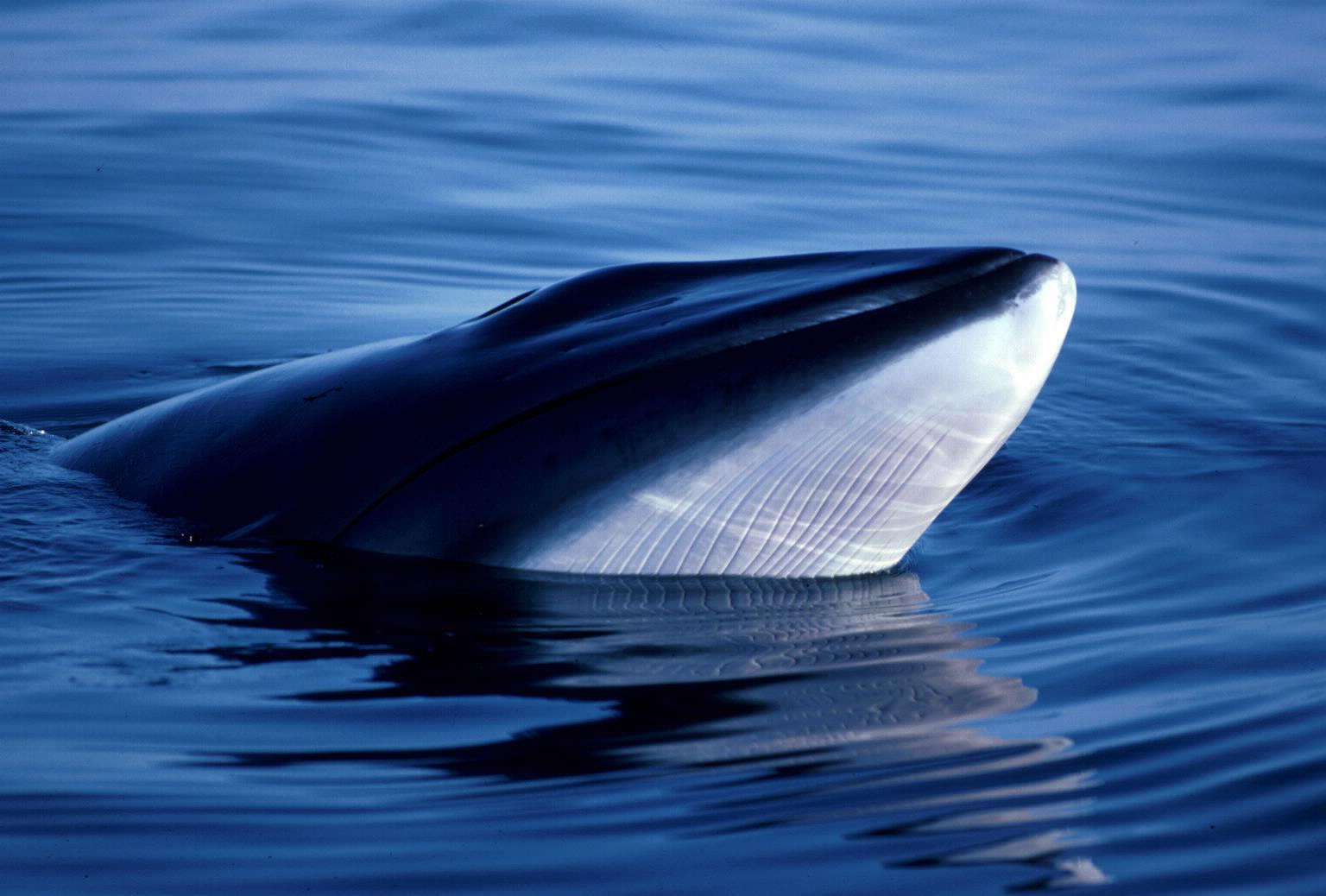Japan darf keine Wale mehr in der Antarktis jagen!