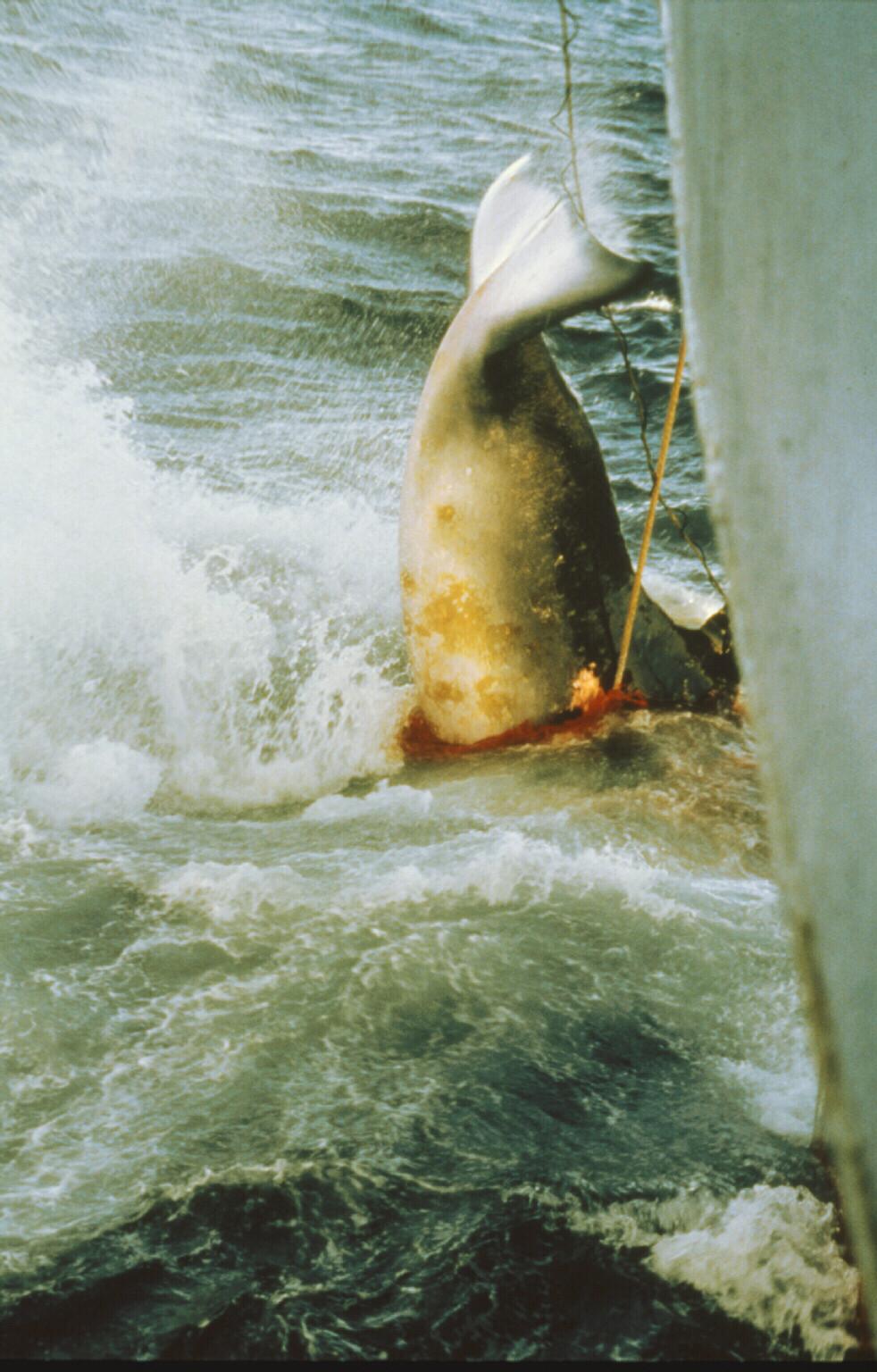 Hapunierte Wale sterben einen langsamen, qualvollen Tod