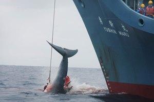 Internationaal Strafhof: Japanse walvisvangst is illegaal en moet stoppen