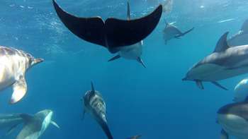 A mixed group of common and striped dolphins taken using a GoPro mounted on the bow of SOTW. Photograph by Luke O'Connor.
