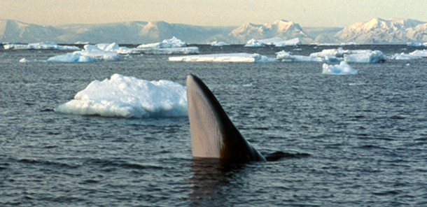 IWC65 sees victories and progress for whale conservation.