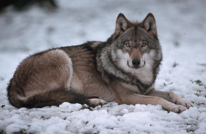 steckbrief wolf ifaw international fund for animal welfare