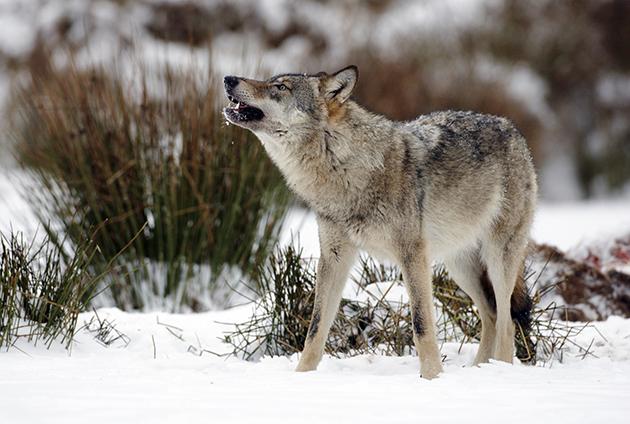 Paarungszeit für Wölfe in Polen