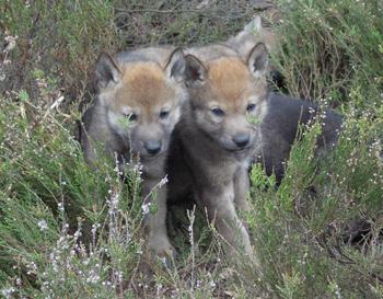 Diese beiden neugierigen Wolfsjungen wurden 2013 im Niederschlesischen Wald in P