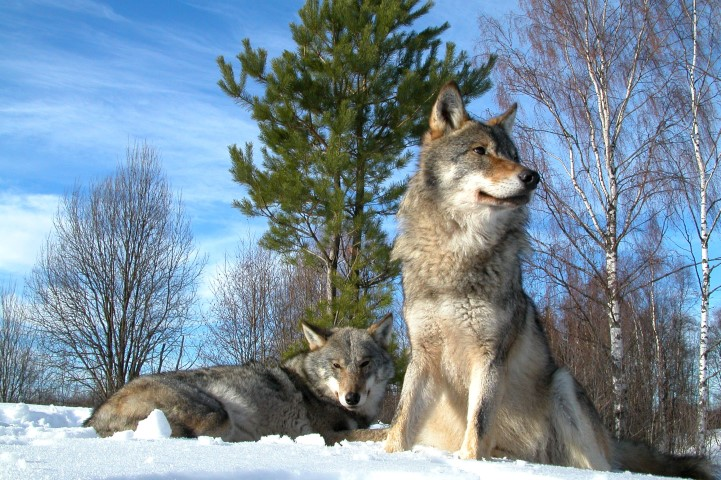 Alberta poison program kills more wildlife than wolves